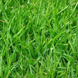 Rullegræs